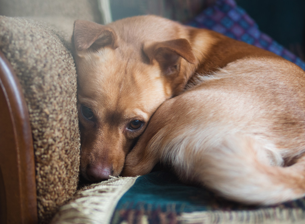 Treating Anxiety In Dogs - Scared Dog Curled Up On Couch