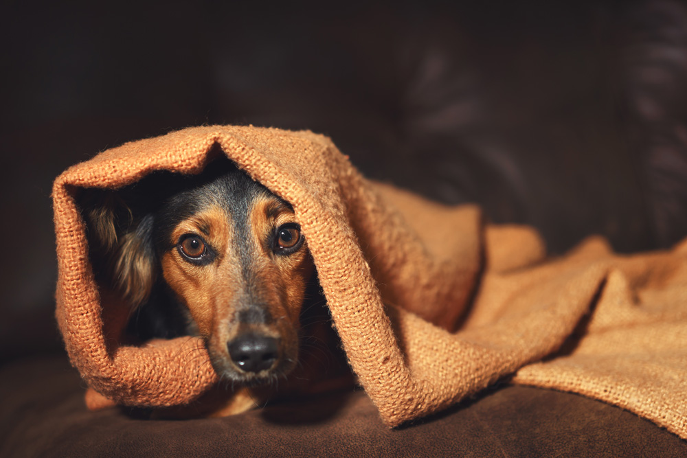 Separation Anxiety In Dogs - Dog Under A Blanket