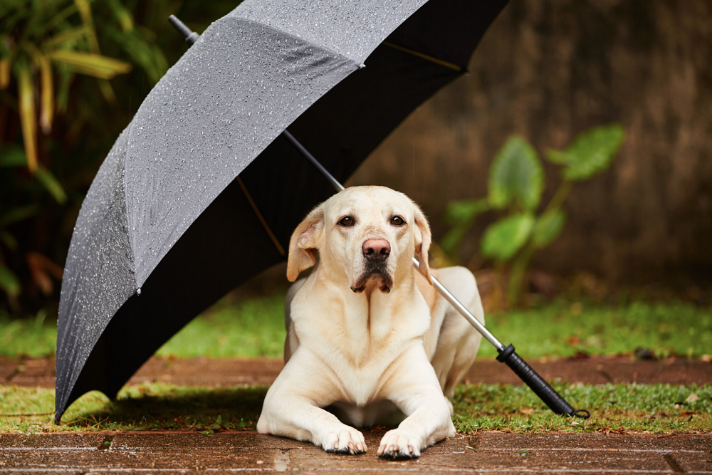 Dog under umbrella - How To Keep Your Dog Calm During A Thunderstorm