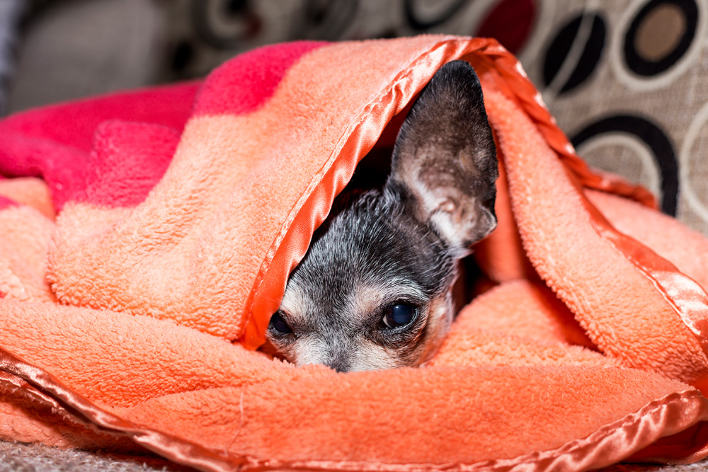 Chihuahua Hiding Under A Blanket - How To Keep Your Dog Calm During A Thunderstorm