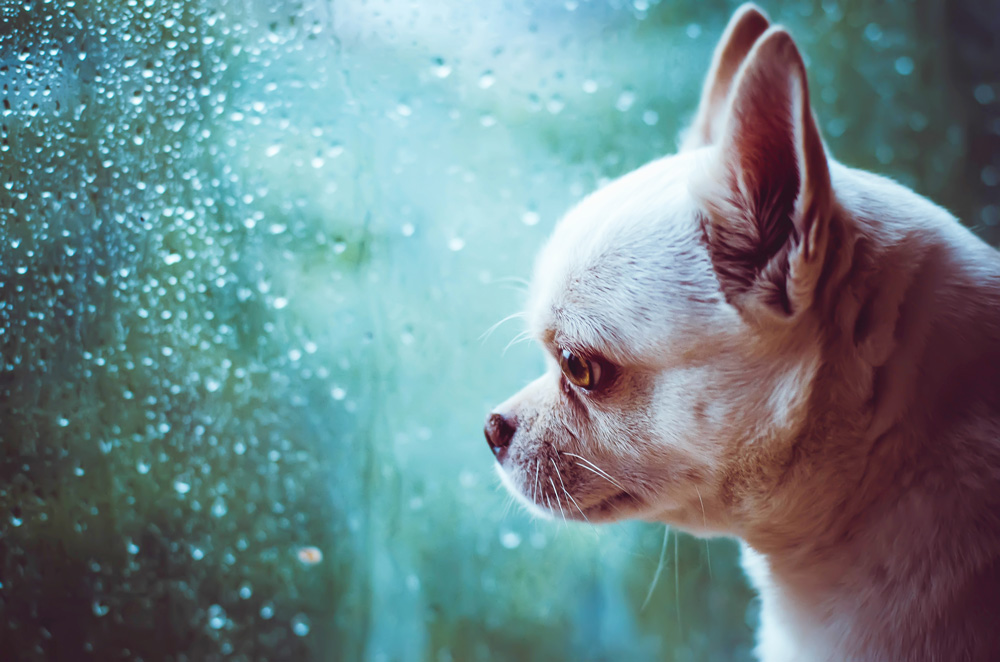 chihuahua looking out window into rain