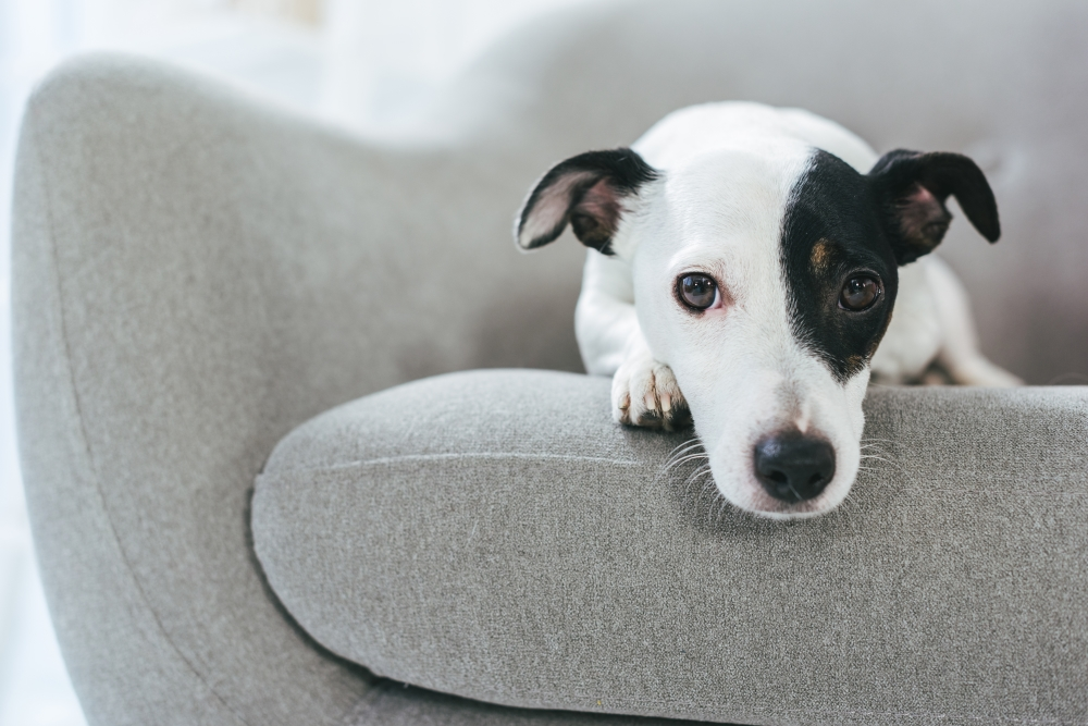 Sad-Puppy-on-Couch - Dog Anxiety Relief: Best Calming Treats for Reducing Stress in Dogs