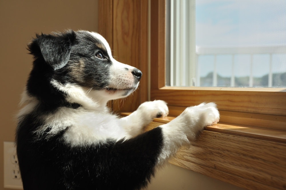 Anxious puppy looking out window - Anti-Anxiety for Dogs: Creating a Peaceful Home Life for Your Pup